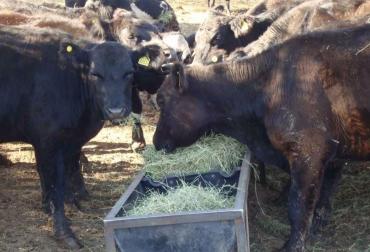 Ganadería, ganadería colombia, noticias ganaderas, noticias ganaderas colombia, CONtexto ganadero, dieta, dieta para el ganado, alimentación para el ganado, comida para el ganado, alternativas para alimentar el ganado, la nación, la nación argentina,