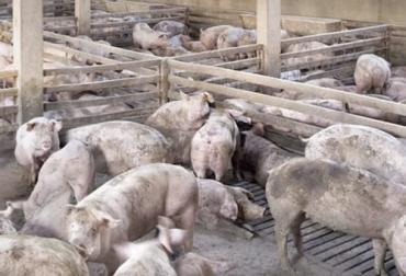 Nueva cepa de peste porcina africana en China 2021, cepa PPA, cepa peste porcina africana, China, cerdos, Peste Porcina Africana, sacrificio de cerdos, Pekín, peste porcina africana en China 2021, gripe porcina, gripa porcina, amenaza gripa porcina, nueva gripa porcina, descrubrimiento gripa porcina, descubrimiento G4, G4 nueva gripa porcina, ganaderos, ganaderos colombia, ganado, bovinos, ganado bovino, Ganadería, ganadería colombia, noticias ganaderas, noticias ganaderas colombia, CONtexto ganadero, conte
