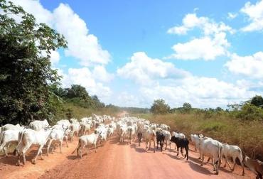 Ganado es arriado cerca de Anapu, en el estado de pará, norte de Brasil, el 1 de junio  © AFP/Archivo Evaristo Sa