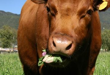 plantas tóxicas para el ganado