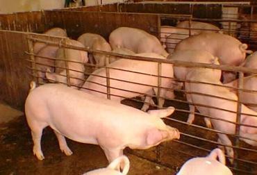 Producción de carne porcina en Nicaragua