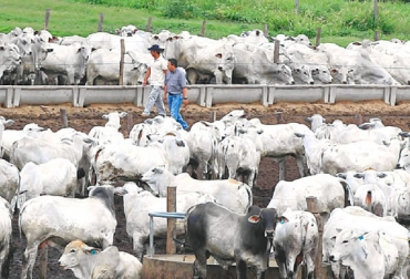 engorde de ganado