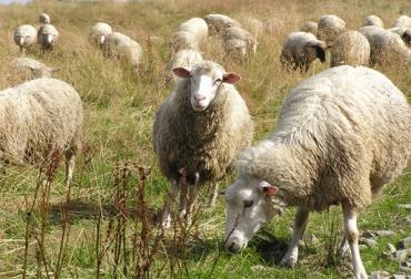 Ganadería ovina mundial