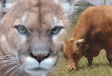 felinos atacan ganado