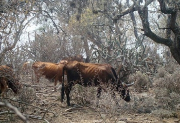 mueren vacas por sequía