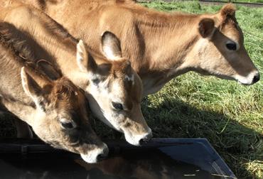 Alimentación adecuada para bovinos
