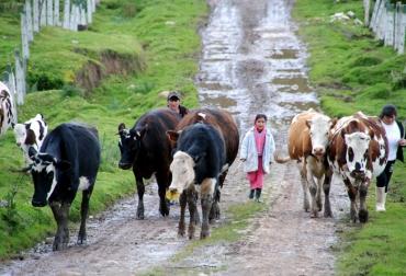 Ganaderos de Tolima y Caldas enfrentan crisis láctea
