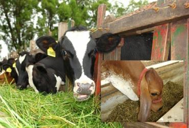 nutrición bovina