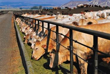 confinamiento de ganado bovino