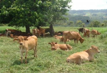 Silvopatoreo y ganadería colombiana