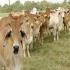 Doble propósito, impactar pobreza, separar doble propósito, ganadería de carne, ganadería de leche, especializarse, pequeños ganaderos, rebobinar doble propósito, CONtexto ganadero, noticias de ganadería colombiana