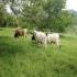 Características de la pradera determinan el consumo, altura de los forrajes, disponibilidad de forraje, valor nutricional de la pastura, leguminosas, gramíneas, largo del macollo, profundidad del bocado, CONtexto Ganadero, noticias de ganadería colombiana.