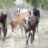 Indígenas Yukpa ingresan ganado de contrabando, comunidad indígena, guardan bovinos en sus resguardos, negocian bovinos sin control sanitario en el Cesar, ICA negocia con Ministerio del Interior, CONtexto ganadero, noticias de ganadería colombiana.