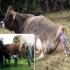 toro reproductor ganadería